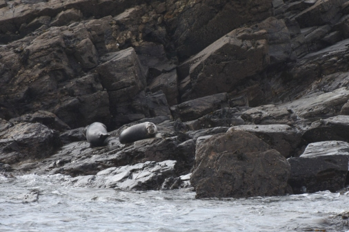 Grey seals, St Clements Island