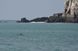 A harbour porpoise (just), Penzance Cornwall