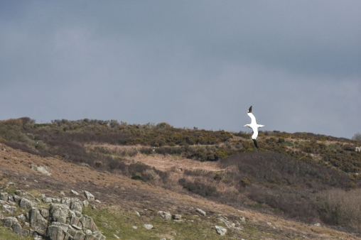 Gannet in flight, Penzance, Cornwall