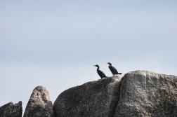 A cormorant a Shag, Penzance Cornwall