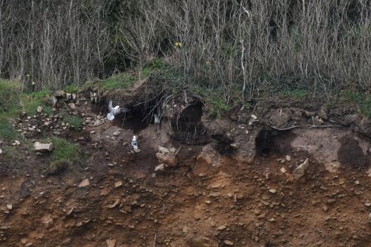 Fulmars nesting, Penzance Cornwall