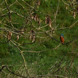 Kingfisher in the Stour, Blandord