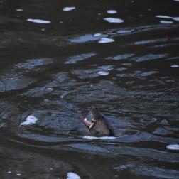 Otter feding