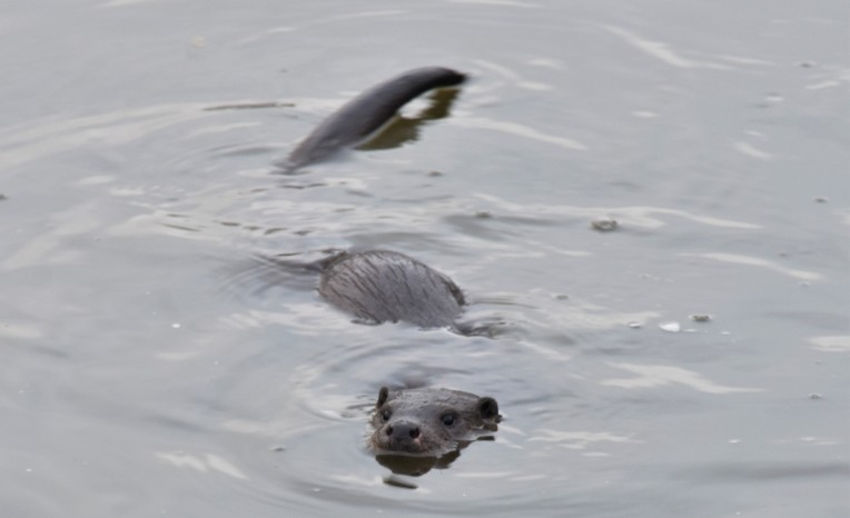 First ever glimpse of a wild otter - snapshot