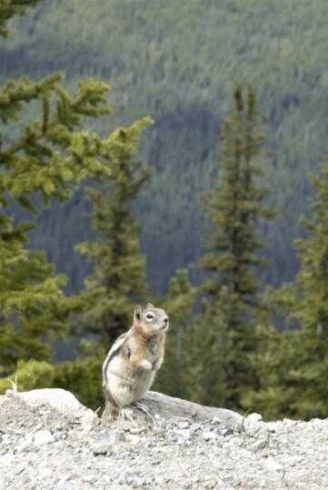 Ground squirrel on the summit of Mount Sulphur