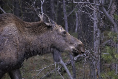 Moose at Maligne Lake
