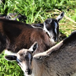 Some young goats in Madalena