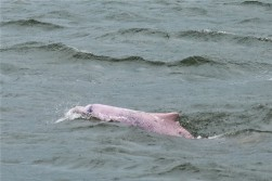 Chinese White (Pink) dolphin