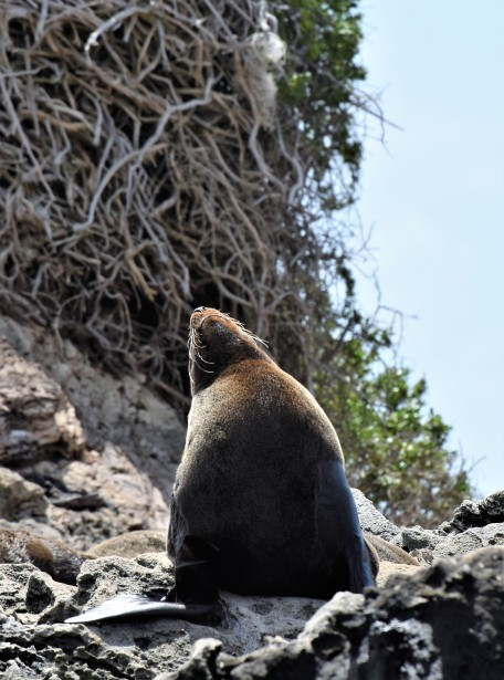 New Zealand fur seal on cathedral rocks on Rottnest Island. Notice abandoned osprey nest in the background