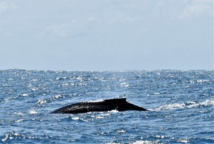 Another view of the humpback, Rottnest