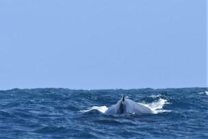 Humpback whale, Rottnest
