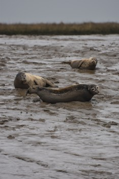 Burnham common seals 09