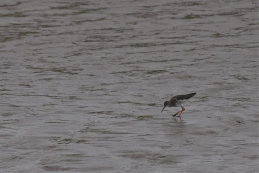 I think this is a spotted redshank