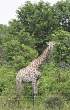 A giraffe seen from the truck