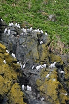 Guillemots perching, Padstow Cornwall