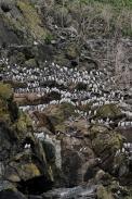 Guillemots and Razorbills, Padstow Cornwall