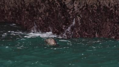"""""""Bottling"""" grey seal, Padstow Cornwall"""