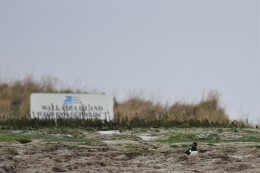 Oystercatcher on RSPB Wallasea Island