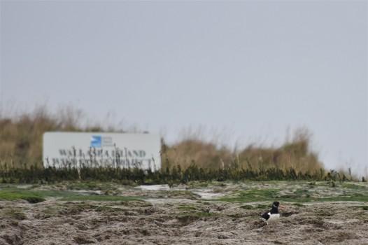Oystercatcher on RSPB Wallasea Island