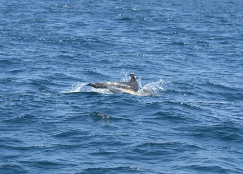 Jumping Striped Dolphin