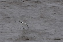 Avocet in Burnham