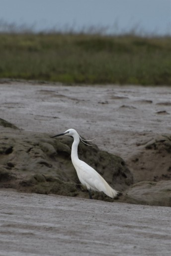 Little egret in Burnham