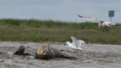 Gulls bothering the seals at Burnham