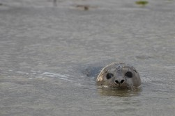 Seal pup in the water
