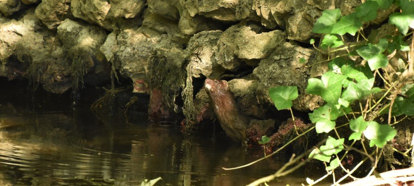 Back to Blandford – Is that an Otter? No, it's a mink!