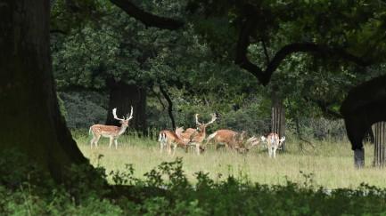 Fallow deer, Knepp
