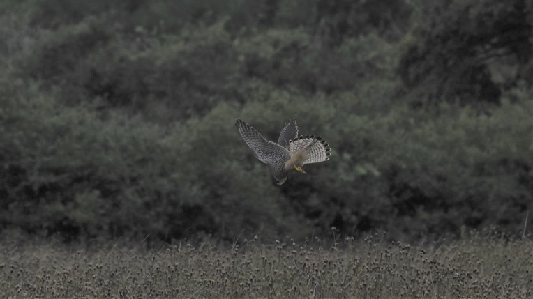 Kestrel at Knepp