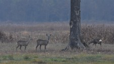 Roe deer in the Naliboki