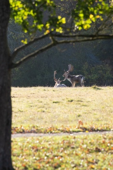 Males roe deer in their lech