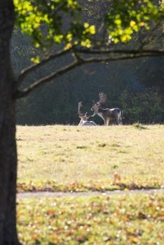 Males roe deer in their lech