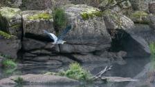 A grey heron flying through the mist