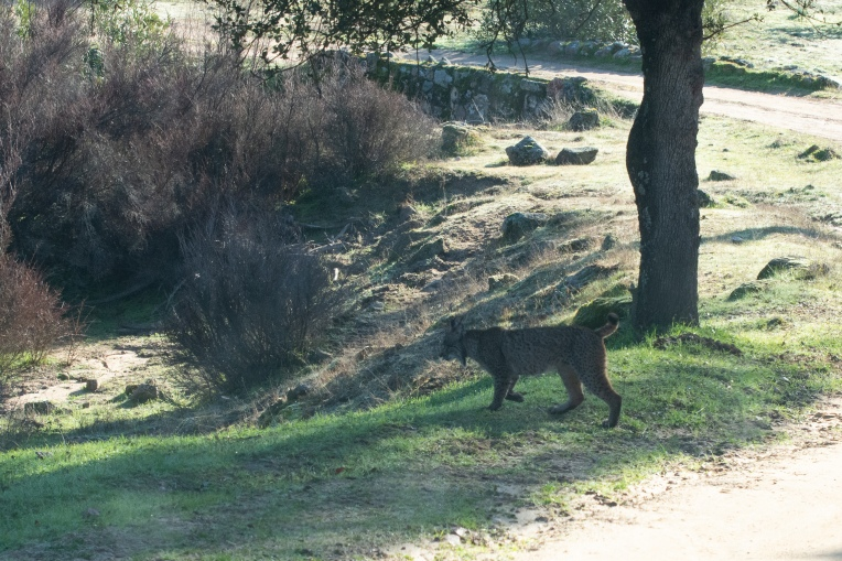 Our first sighting of an Iberian Lynx