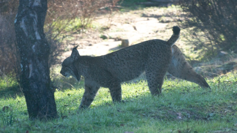 The elusive lynx, 4th timelucky!