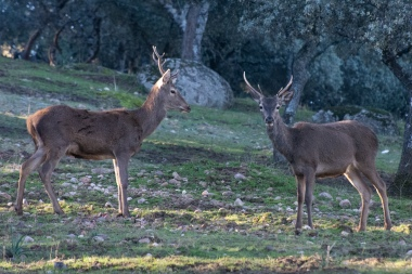 A couple of red deer