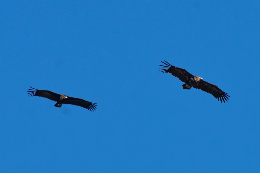 During the week, we saw a few of these massive vultures as well as many Griffon Vultures