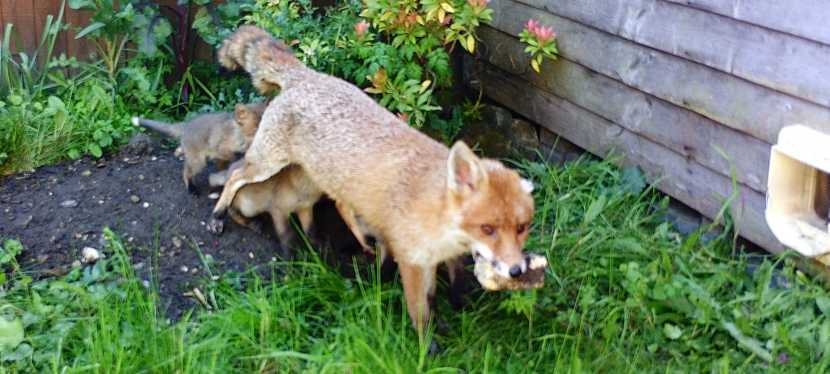 Wildlife on your doorstep – Fox cubs in the garden