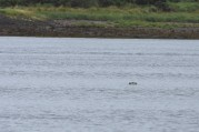 A grey seal in the Inner Moray