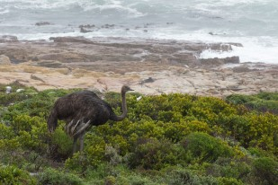 Ostrich by the sea on Cape Point