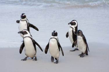 Wanna be in my gang. African penguins