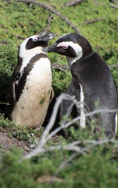 Preening penguins at Stoney Point