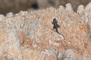 I think this is a cape girdled lizard?
