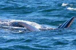 Southern right whale on its back