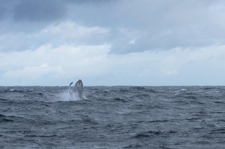 Humback whale breaching of the coast of Gansbaai