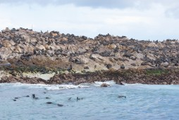 Cape Fur Seal colony at Geyser Rock near Gansbaai