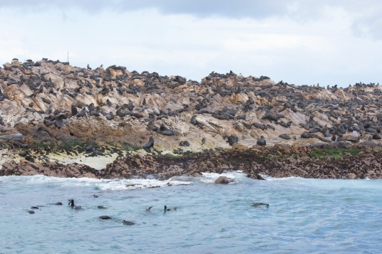 Cape Fur Seal colony at Geyser Rock near Gansbaai