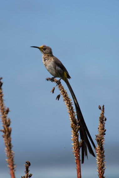 Cape sugarbird on the cliff path, Hermanus